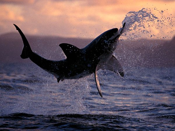 Great White Breaching Most Beautiful Fishes From National Geographic Youve Never Seen Before
