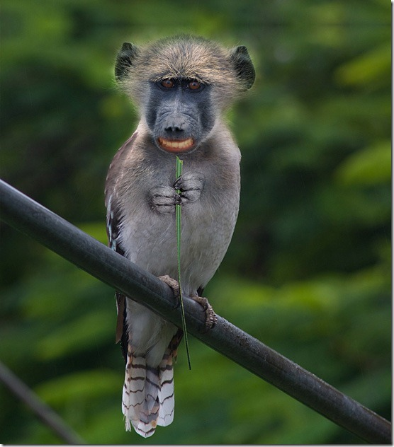 Monkeybird-l