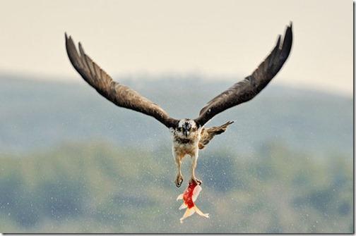 eagle-fish