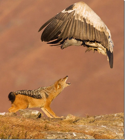 eagle-wolf-fighting