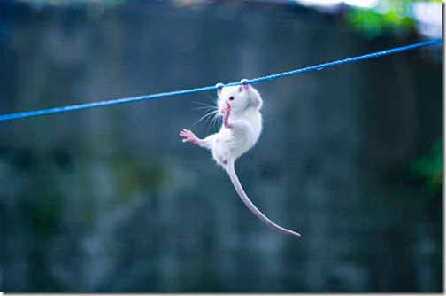 hanging-mouse