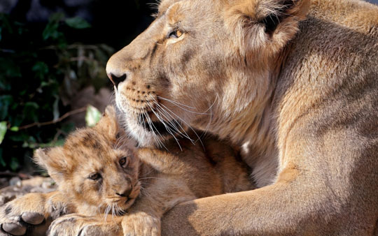 Lion with Cub wallpaper