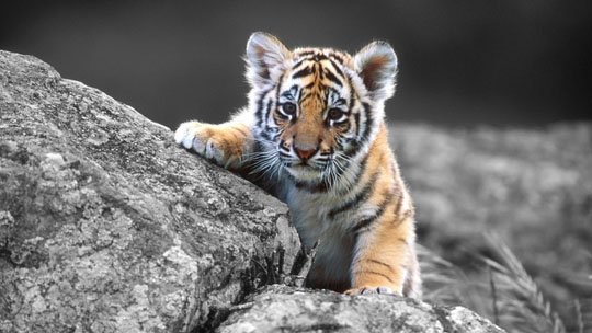 Cute Tiger wallpaper