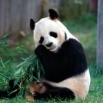 Cute-Panda-Wallpaper