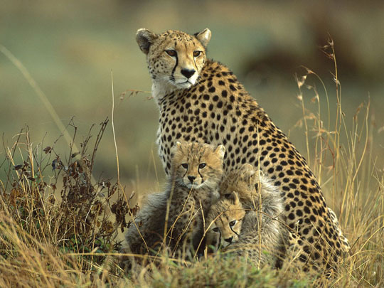 CHEETA FAMILY WALLPAPER
