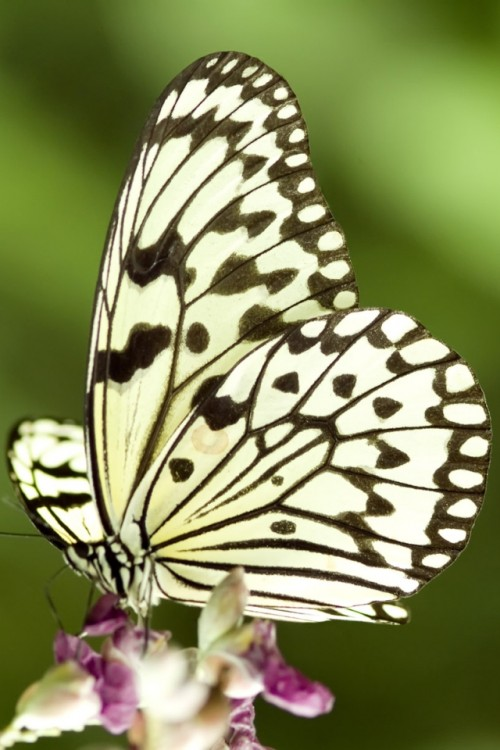 21-iPhone-4S-Wallpaper-Butterfly-01-500x750