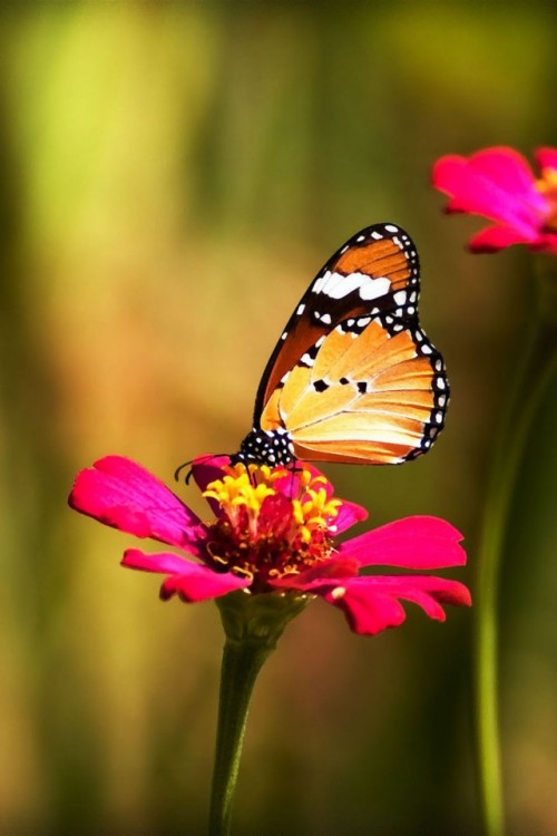 23-iPhone-4S-Wallpaper-Butterfly-08-500x750
