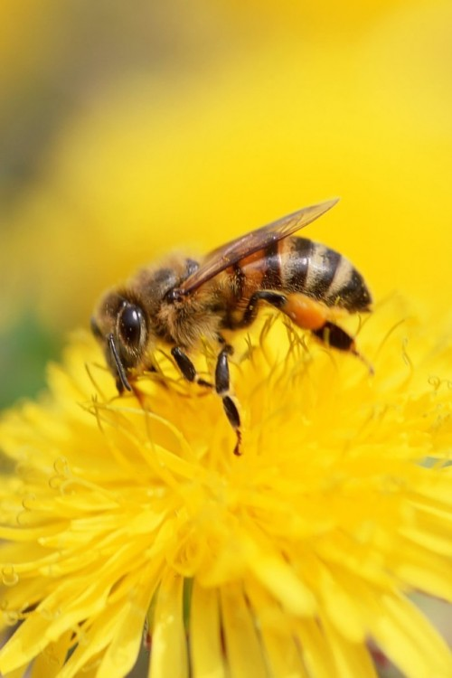 26-iPhone-4S-Bee-Wallpaper-05-500x750