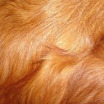 Red Retriever Dog Fur Texture