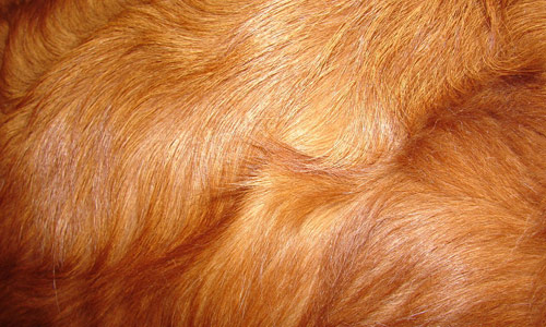 Red Retriever Dog Fur Texture