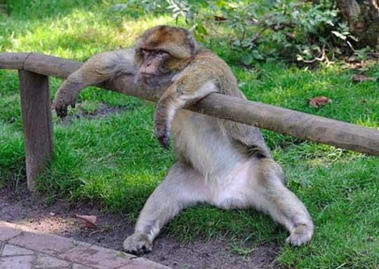 Lazy Monkey