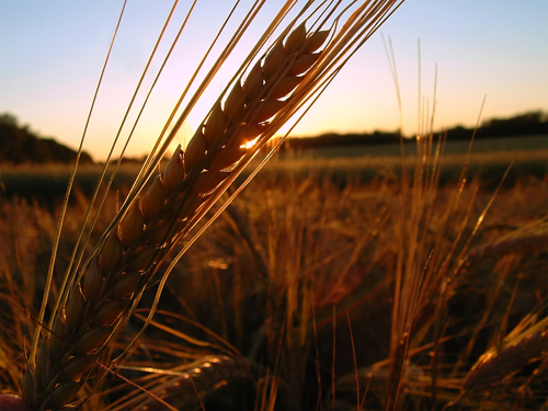 Winter Wheat Smart TV background