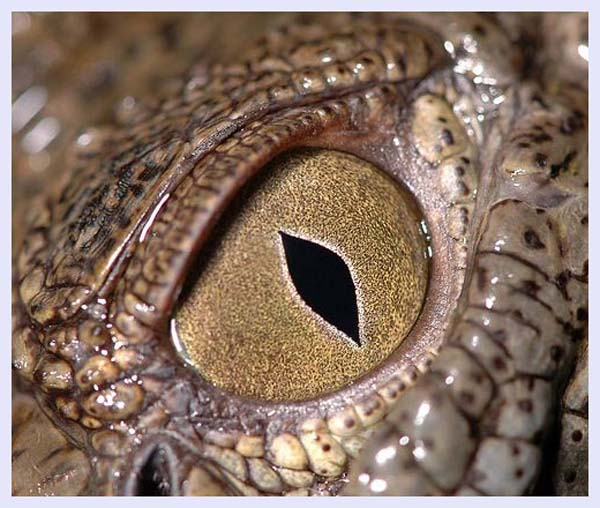 Crocodile eye by Abdullah Alshatti