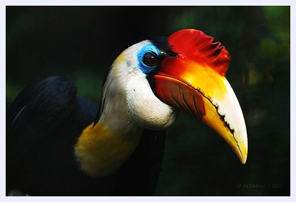 Billy hornbill by Jester alcaraz