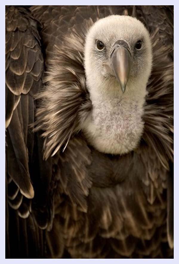 Griffon wildlife-photography