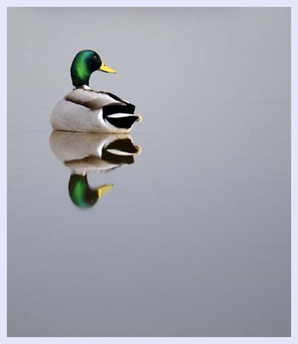 [تصویر: Mallarddrakesphotography3.jpg]