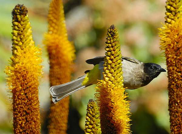 Black-eyed Bulbul on Aloe vryheidensis