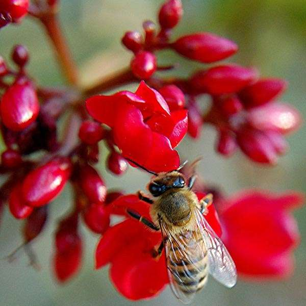 Lustrous-Spicy and Honey Bee