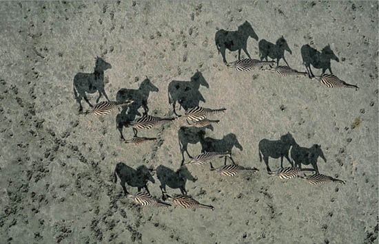 4-zebra-shadows-aerial-from-above-national-geographic