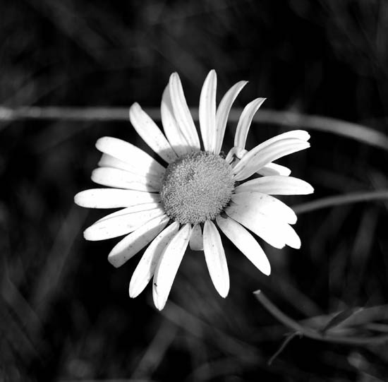 Sun-flower Black and white photography