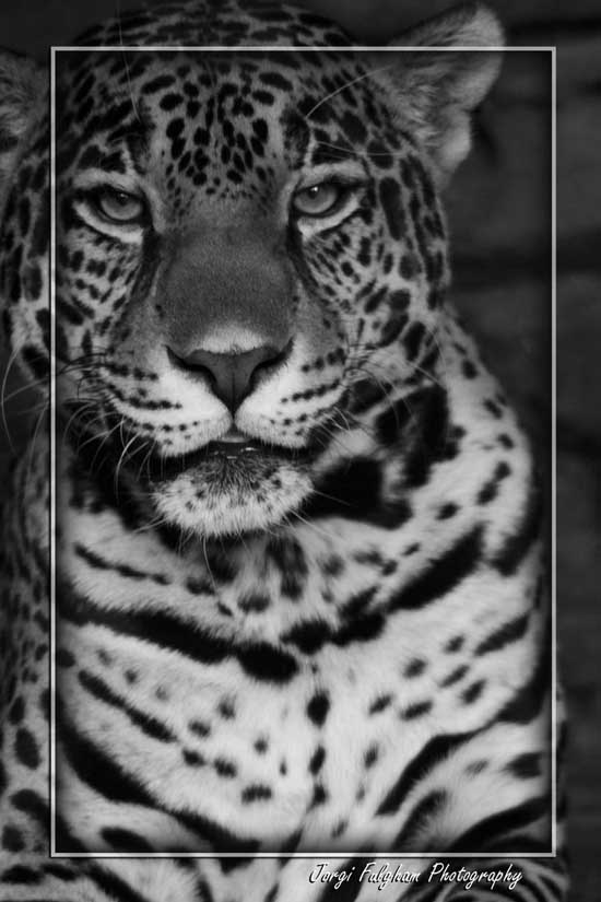 Tiger Black and white photography