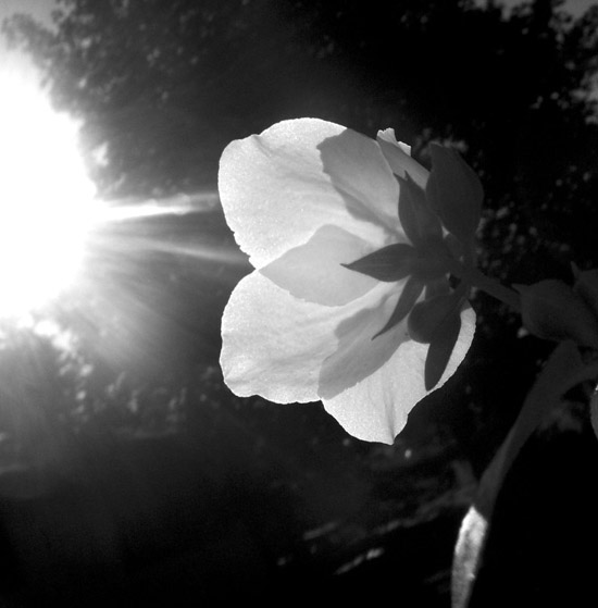 Flower Black and white photography