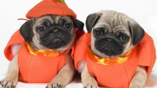 Scary Halloween Pugs