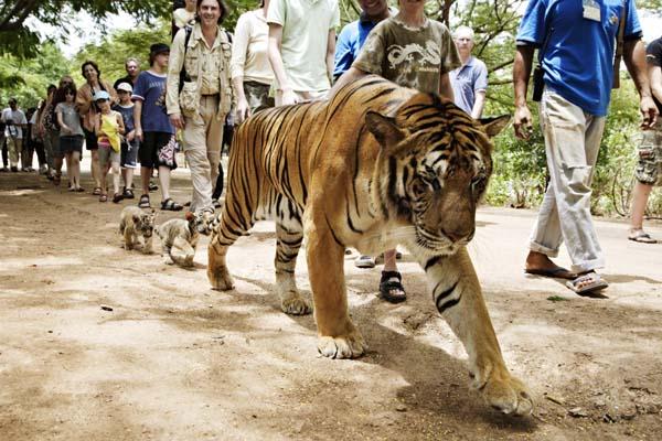 16-The Tourist Tiger Trail