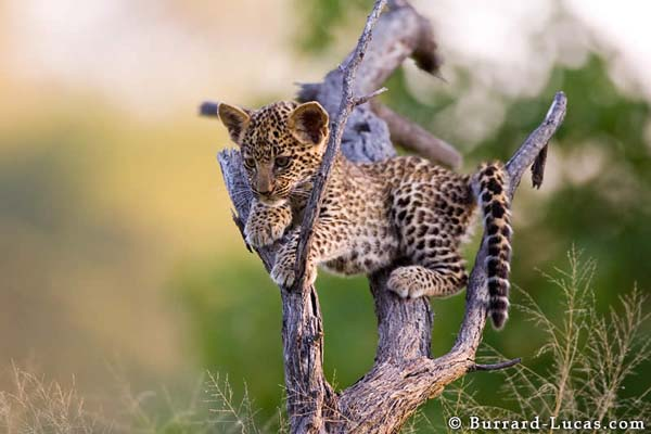 18-Leopard Cub