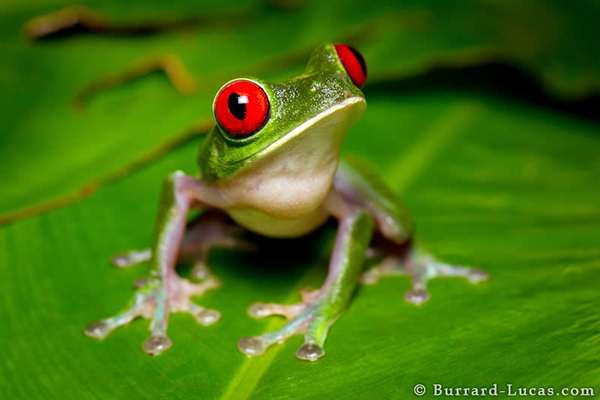19-Red-eyed Tree Frog