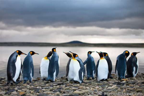 21-King Penguins