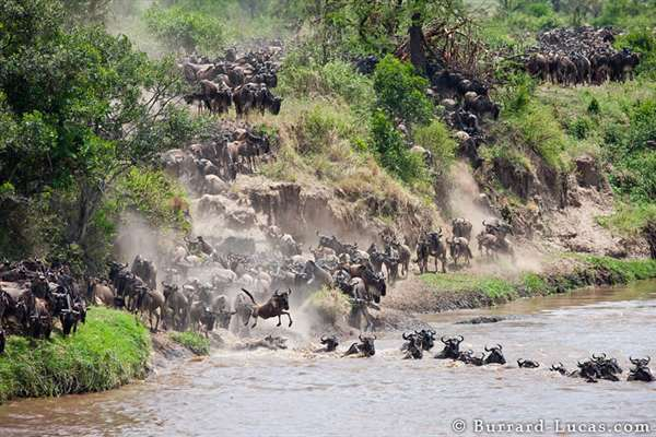 22-Wildebeest Crossing