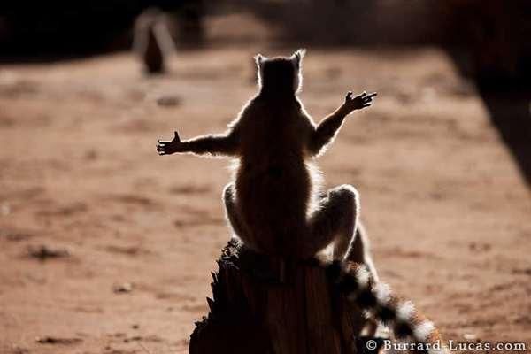 23-Sunbathing Lemur