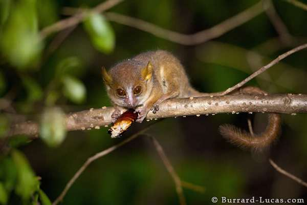 25-Golden-brown Mouse Lemur