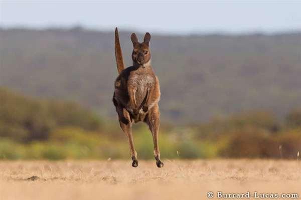 26-Kangaroo Hopping