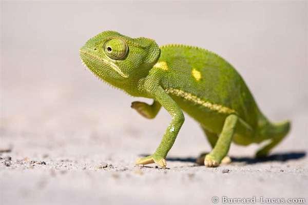 27-Flap-necked Chameleon