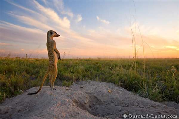 28-Kalahari Meerkat