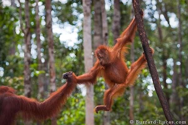 29-Baby Orangutan