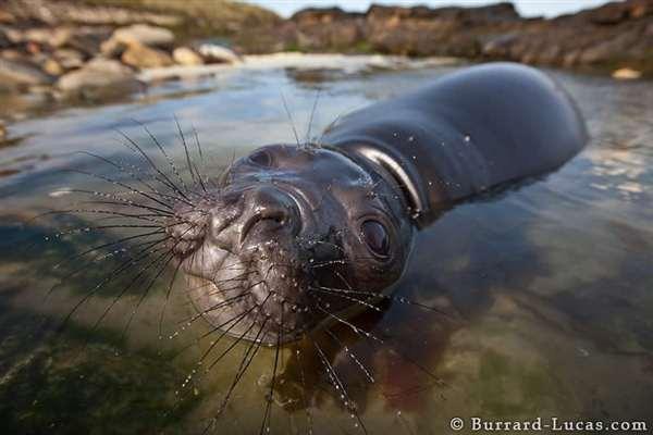 30-Playful Elephant Seal