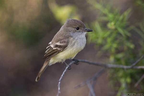 33-Galapagos Flycatcher