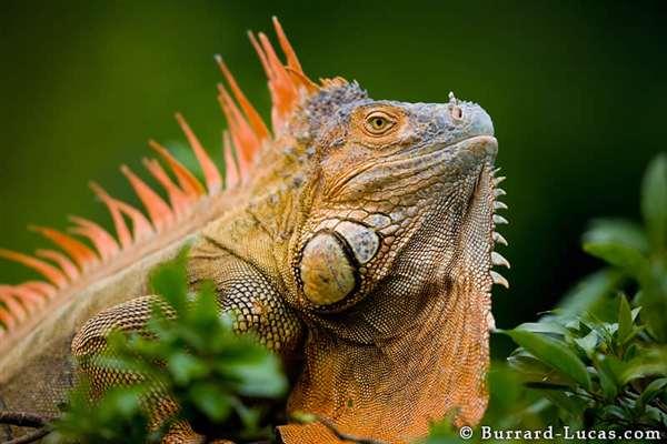 35-Green Iguana
