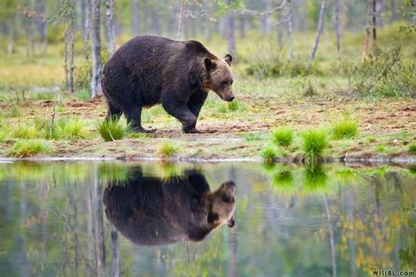 36-Bear by Lake