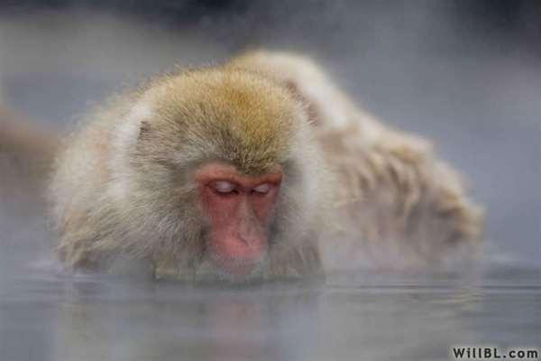 37-Snoozing Monkey
