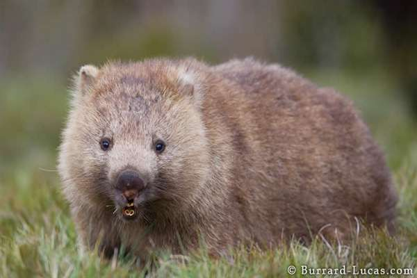 38-Wombat Mouth