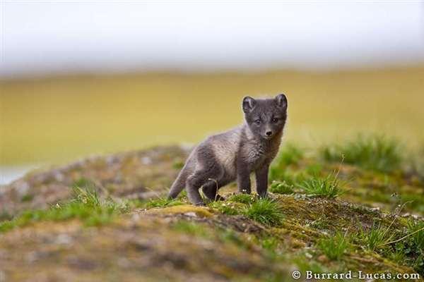 39-Arctic Fox Cub