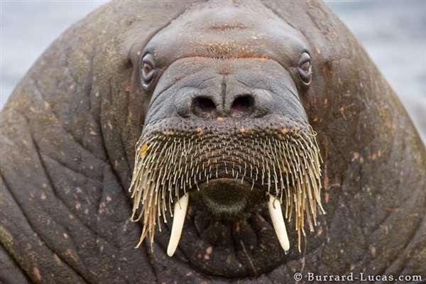 40-Walrus Face