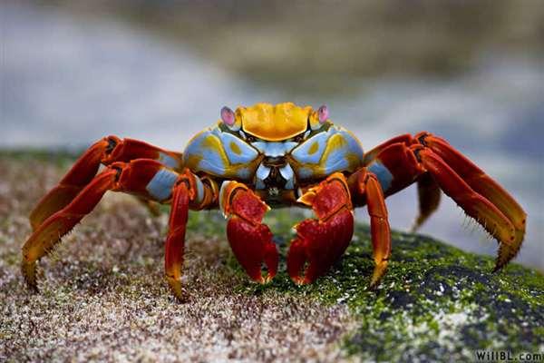 41-Sally Lightfoot Crab
