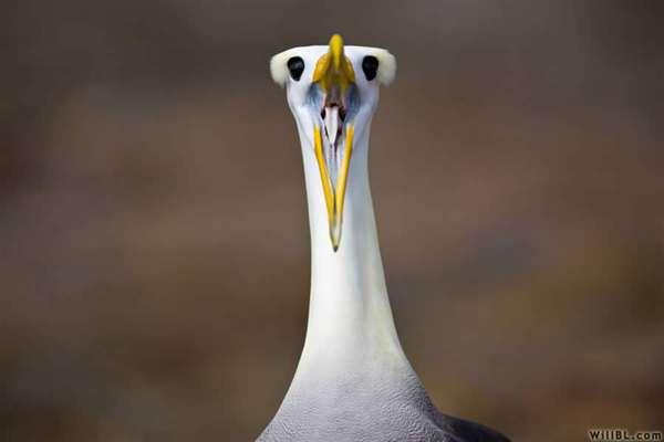 43-Albatross Courtship Ritual