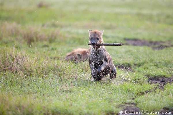 48-Playful Hyena