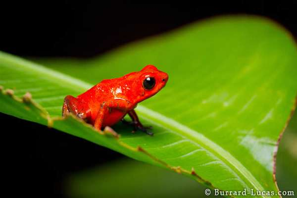 49-Strawberry Poison-dart Frog